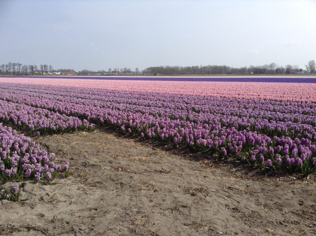 In 2015 I rode my bike to work at the Keukenhof everyday passing these fields in full bloom.  It was like a dream of heaven come true.
