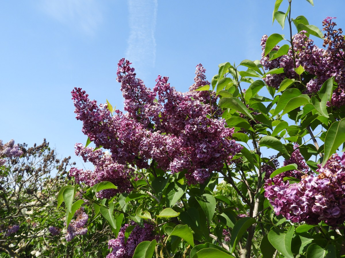 One of the hundreds of Lilacs in full bloom