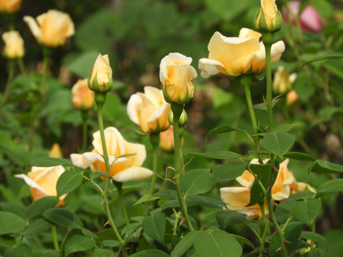 A sample of the greenhouse roses.